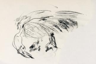 francine-kooij-houtskool-tekeningen-artis-dieren-09