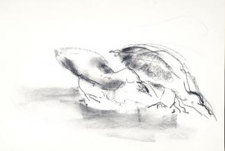 francine-kooij-houtskool-tekeningen-artis-dieren-12